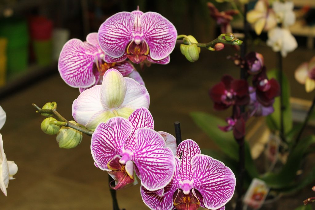 1647_5p_orchideak_viragok-4